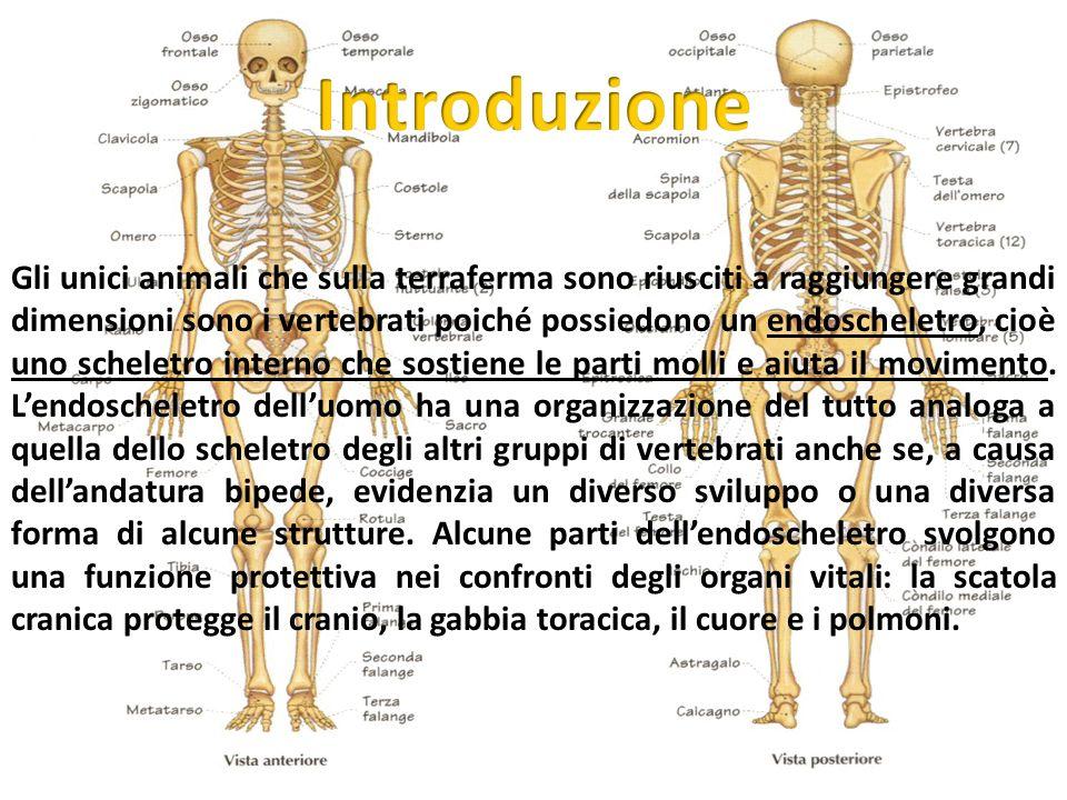 Gli unici animali che sulla terraferma sono riusciti a raggiungere grandi dimensioni sono i vertebrati poiché possiedono un endoscheletro, cioè uno sc
