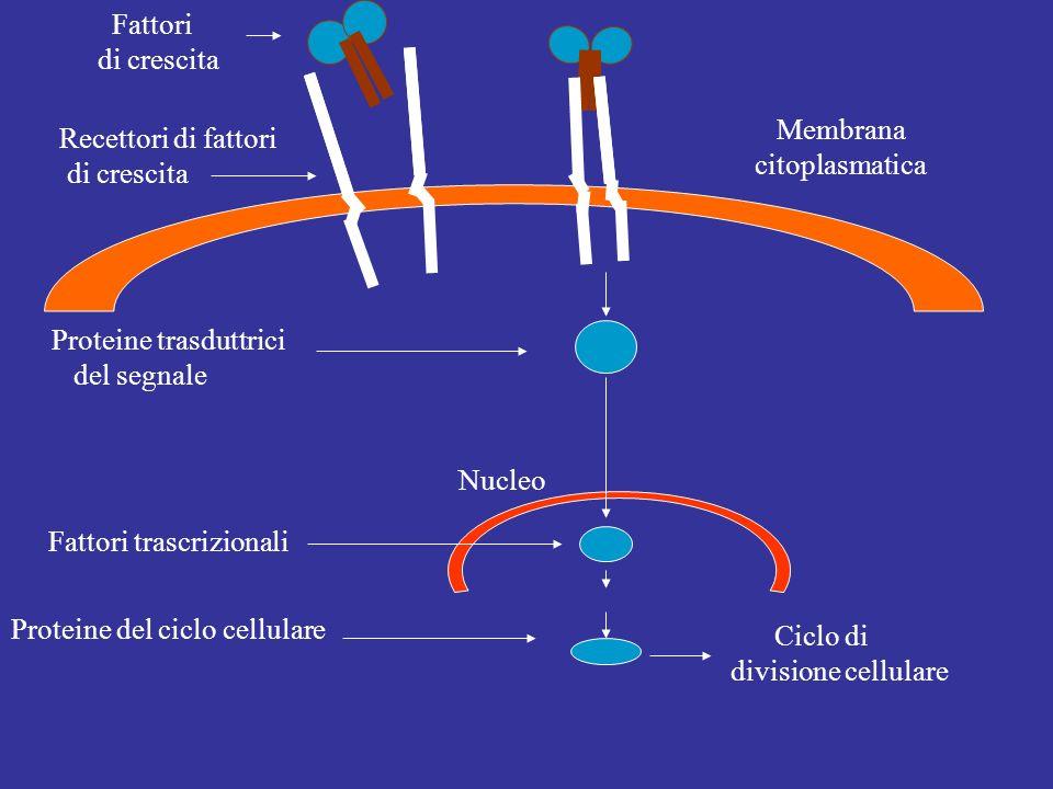 Fattori trascrizionali Fattori di crescita Ciclo di divisione cellulare Nucleo Membrana citoplasmatica Proteine del ciclo cellulare Recettori di fatto