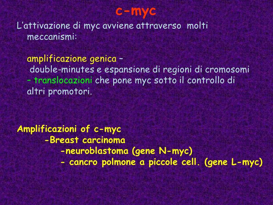 L'attivazione di myc avviene attraverso molti meccanismi: amplificazione genica – double-minutes e espansione di regioni di cromosomi – translocazioni