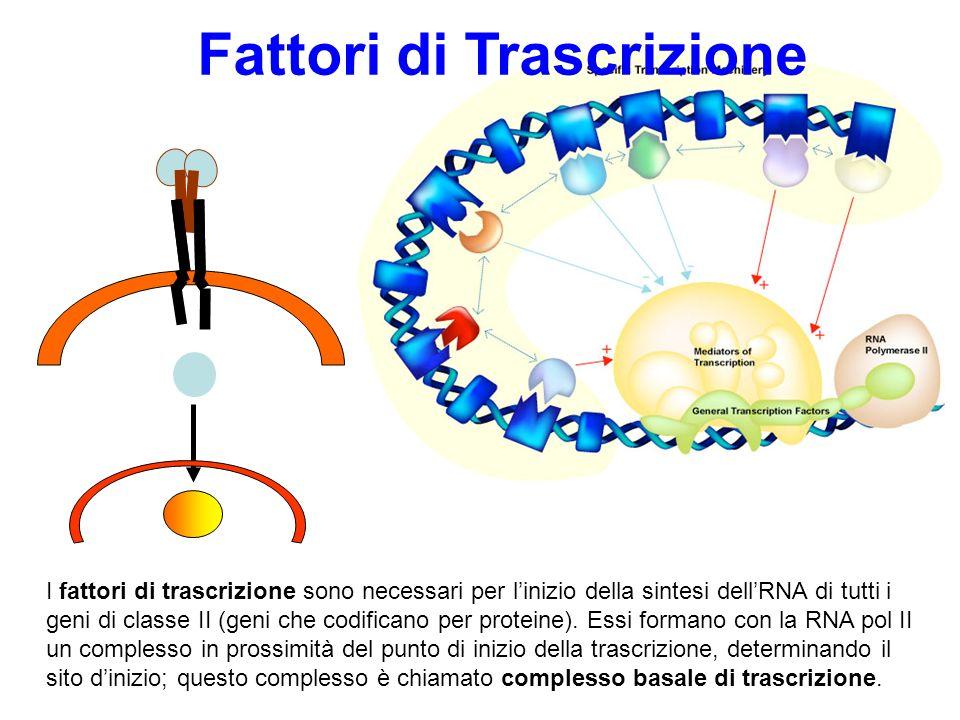 Fattori di Trascrizione Legano specifiche sequenze (enhancer) del DNA Sono up-regulatori della trascrizione Rendono la regione del promotore accessibile alla RNA polimerasi II Molti fattori di trascrizione sono i bersagli finali di specifiche vie di trasduzione fattori di trascrizione ligando- dipendenti