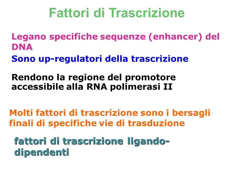 Fattori di Trascrizione Legano specifiche sequenze (enhancer) del DNA Sono up-regulatori della trascrizione Rendono la regione del promotore accessibi