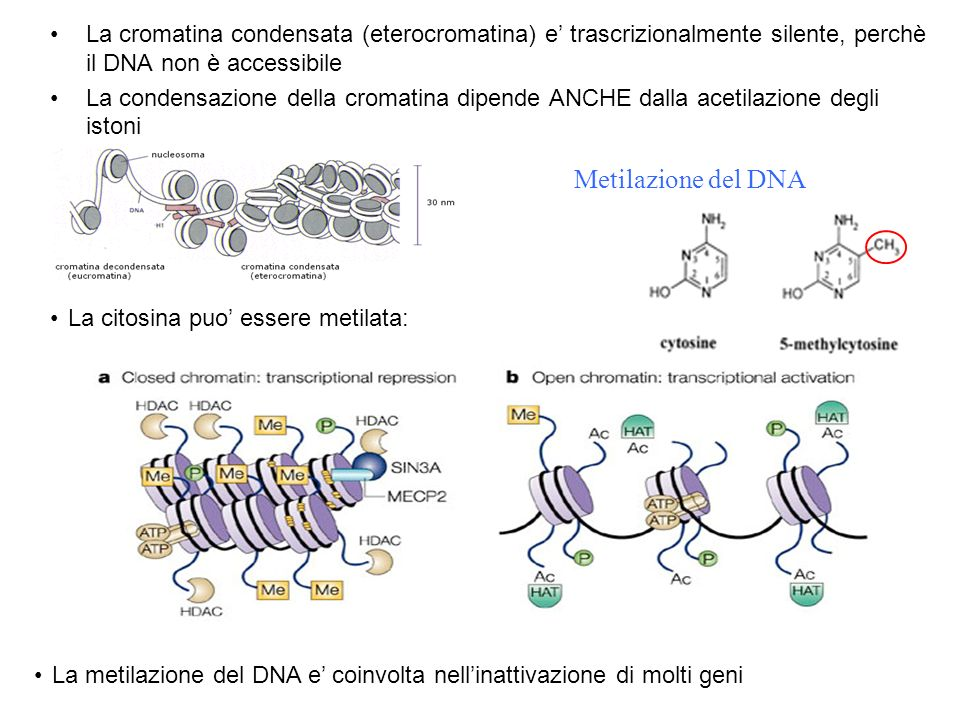 Acetilazione degli Istoni Gruppi acetilici (CH 3 COO – ) legati covalentemente a aminoacidi basici neutralizzano le cariche positive Eliminano le interazioni ioniche con il DNA Diminuiscono la condensazione  Il macchinario di trascrizione puo' accedere al DNA meno condensato Alcuni repressori attirano delle deacetilasi Prevengono l'accesso del macchinario di trascrizione al DNA Repressori: deacetilazione degli Istoni