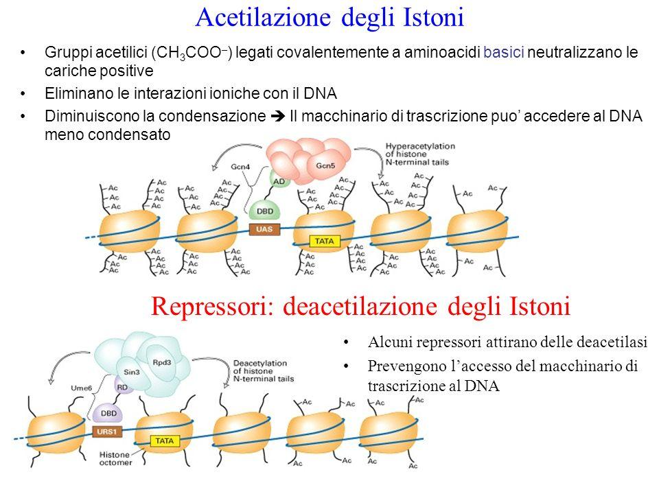 Fattori di Trascrizione I fattori di trascrizione appartengono a ciascuna delle diverse classi basate su specifici tipi di domini di legame Molti contengono un  -elica, che si inserisce nel solco maggiore del DNA Zinc finger: Helix-loop-helix Elica –giro-elica Leucine zipper Cerniere di leucina Zn coordinato a due cisteine  e due istidine 2 eliche separate da un loop Motivi comuni ai fattori di trascrizione