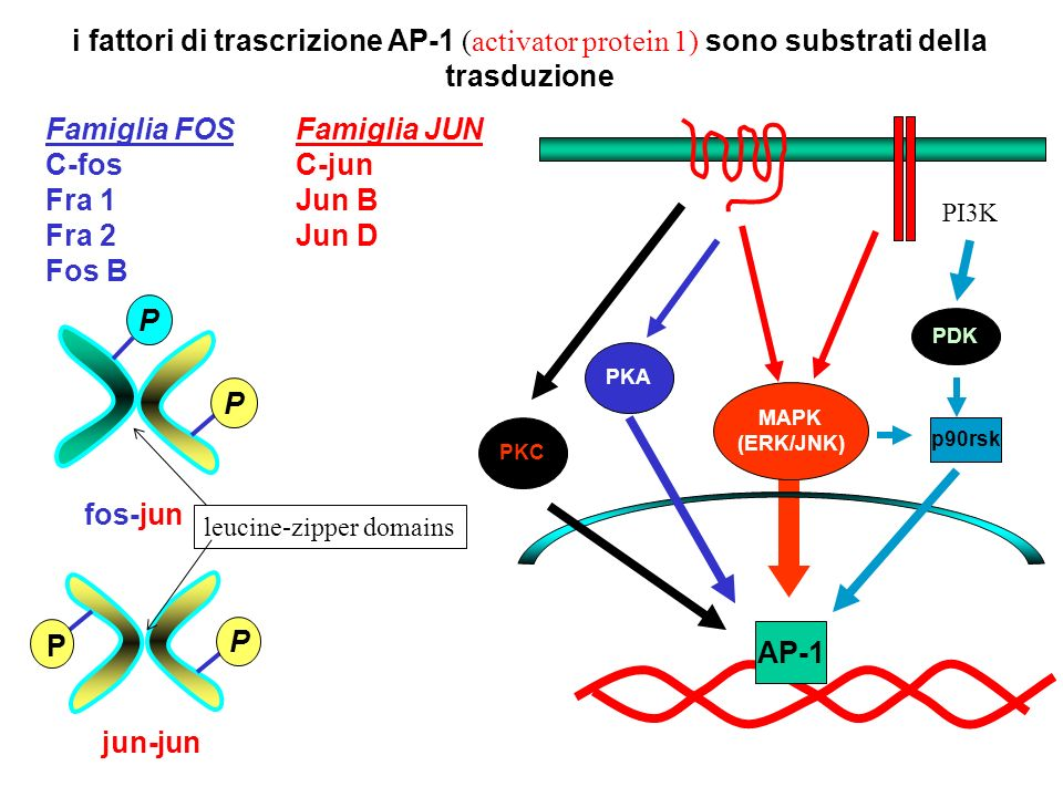 P fos-jun P P jun-jun P Famiglia FOS C-fos Fra 1 Fra 2 Fos B Famiglia JUN C-jun Jun B Jun D i fattori di trascrizione AP-1 (activator protein 1) sono