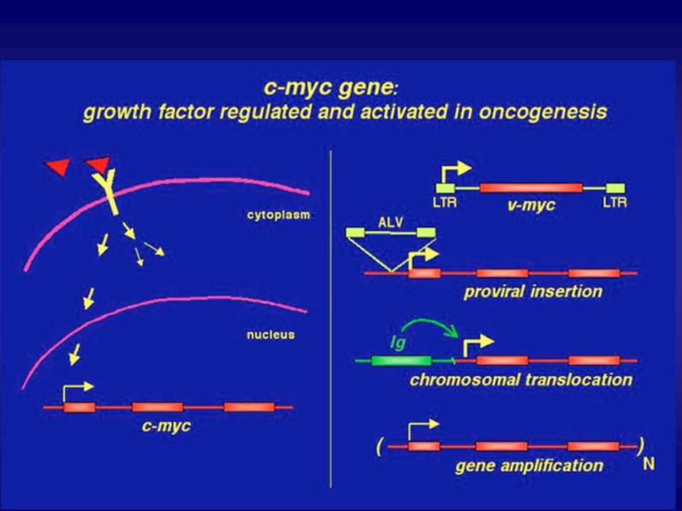 Myc ha una emivita di 30 min; la sua stabilità è controllata dalla fosforilazione su Ser-62 e Thr-58.