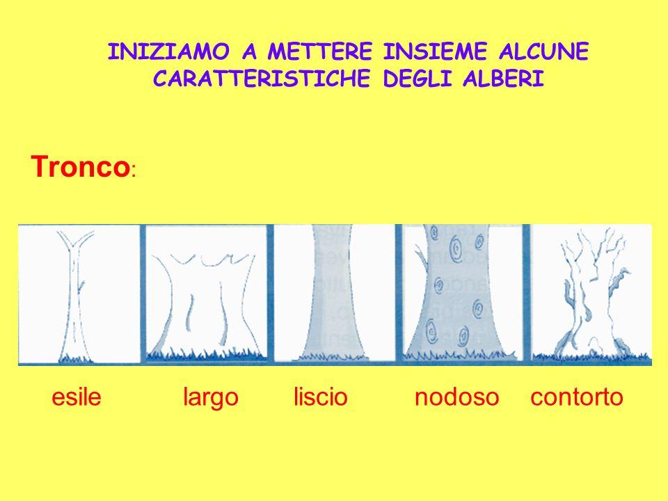 INIZIAMO A METTERE INSIEME ALCUNE CARATTERISTICHE DEGLI ALBERI Tronco : largoesileliscionodosocontorto