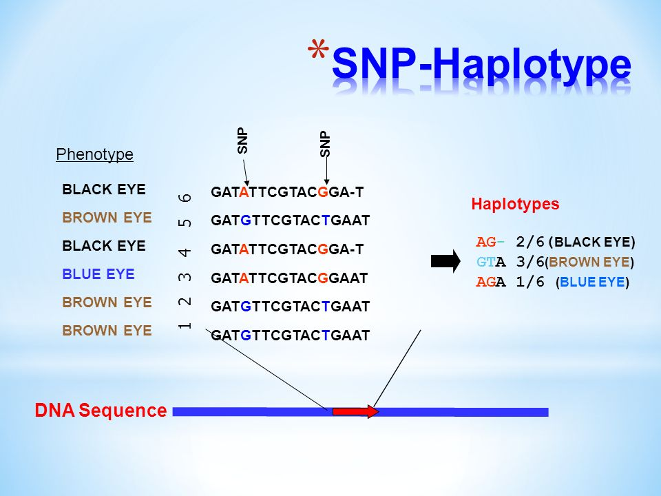 DNA Sequence GATATTCGTACGGA-T GATGTTCGTACTGAAT GATATTCGTACGGA-T GATATTCGTACGGAAT GATGTTCGTACTGAAT SNP 1 2 3 4 5 6 AG- 2/6( BLACK EYE ) GTA 3/6 (BROWN EYE) AGA 1/6 (BLUE EYE) Haplotypes Phenotype BLACK EYE BROWN EYE BLACK EYE BLUE EYE BROWN EYE