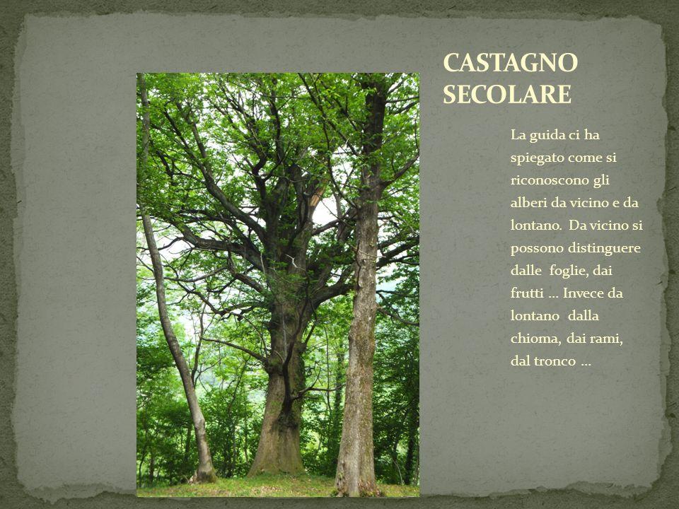 La guida ci ha spiegato come si riconoscono gli alberi da vicino e da lontano. Da vicino si possono distinguere dalle foglie, dai frutti … Invece da l