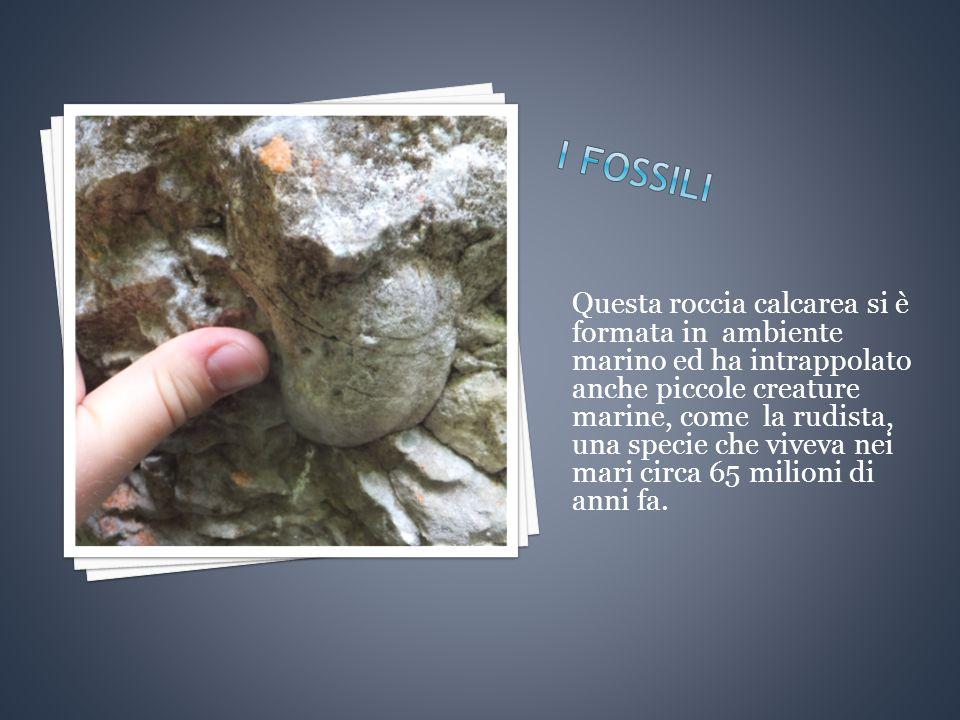 Questa roccia calcarea si è formata in ambiente marino ed ha intrappolato anche piccole creature marine, come la rudista, una specie che viveva nei mari circa 65 milioni di anni fa.