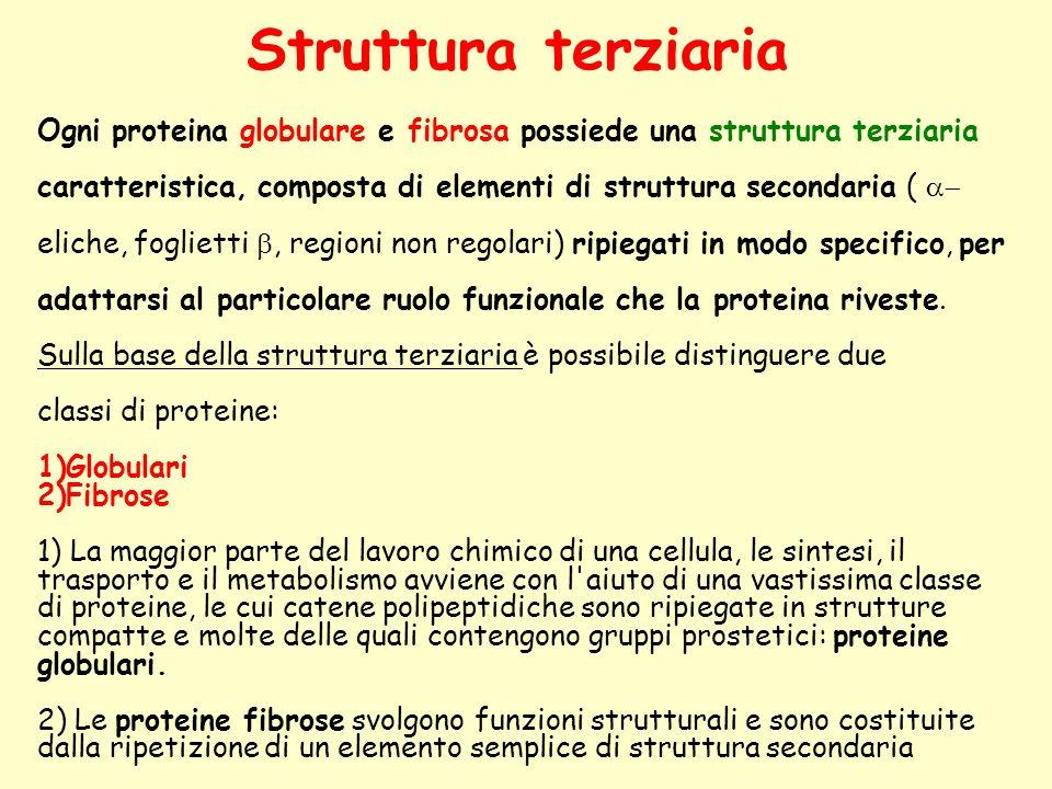 Struttura terziaria Ogni proteina globulare e fibrosa possiede una struttura terziaria caratteristica, composta di elementi di struttura secondaria (