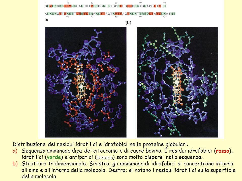 Distribuzione dei residui idrofilici e idrofobici nelle proteine globulari.