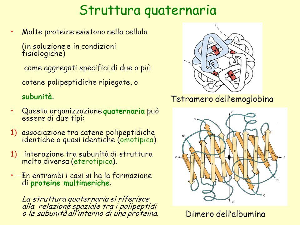 Struttura quaternaria Molte proteine esistono nella cellula (in soluzione e in condizioni fisiologiche) come aggregati specifici di due o più catene polipeptidiche ripiegate, o subunità.
