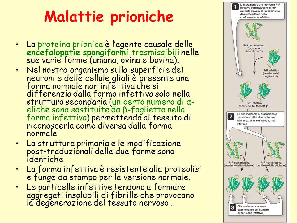 Malattie prioniche La proteina prionica è l'agente causale delle encefalopatie spongiformi trasmissibili nelle sue varie forme (umana, ovina e bovina).