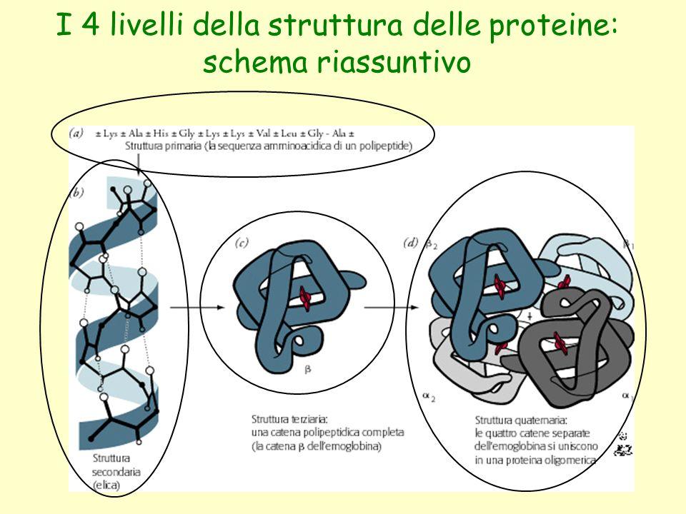 I 4 livelli della struttura delle proteine: schema riassuntivo