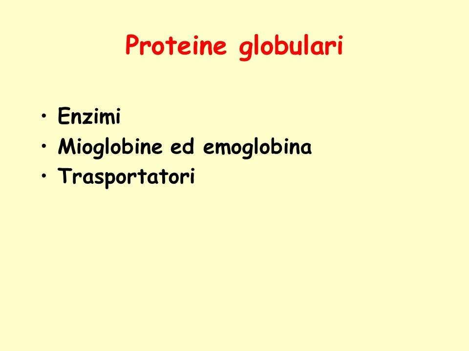Proteine globulari Enzimi Mioglobine ed emoglobina Trasportatori