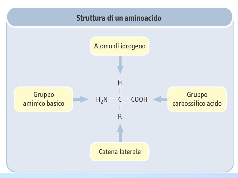 Il legame peptidico: Nelle proteine quasi tutti i gruppi carbossilici e amminici degli amminoacidi sono uniti in legami peptidici CC N H H H O OH R CC N H H H O R + C C N H H H O R N C C H O R H