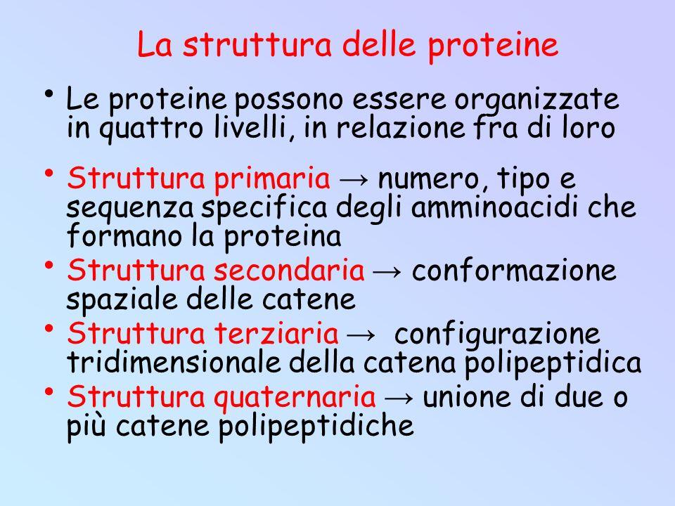 Le proteine possono essere organizzate in quattro livelli, in relazione fra di loro Struttura primaria → numero, tipo e sequenza specifica degli ammin