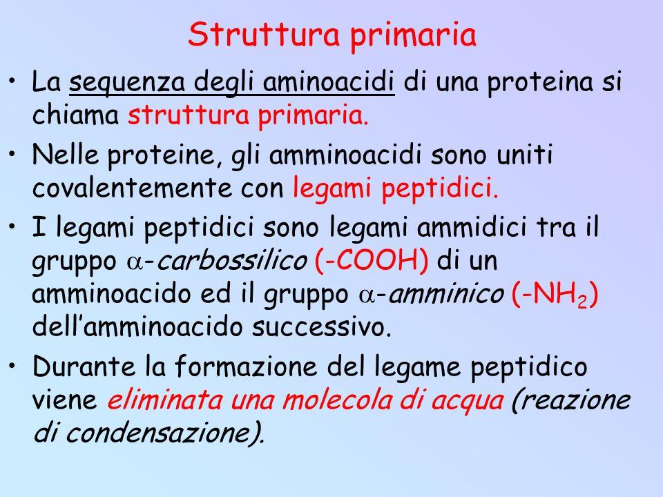 Struttura primaria La sequenza degli aminoacidi di una proteina si chiama struttura primaria. Nelle proteine, gli amminoacidi sono uniti covalentement