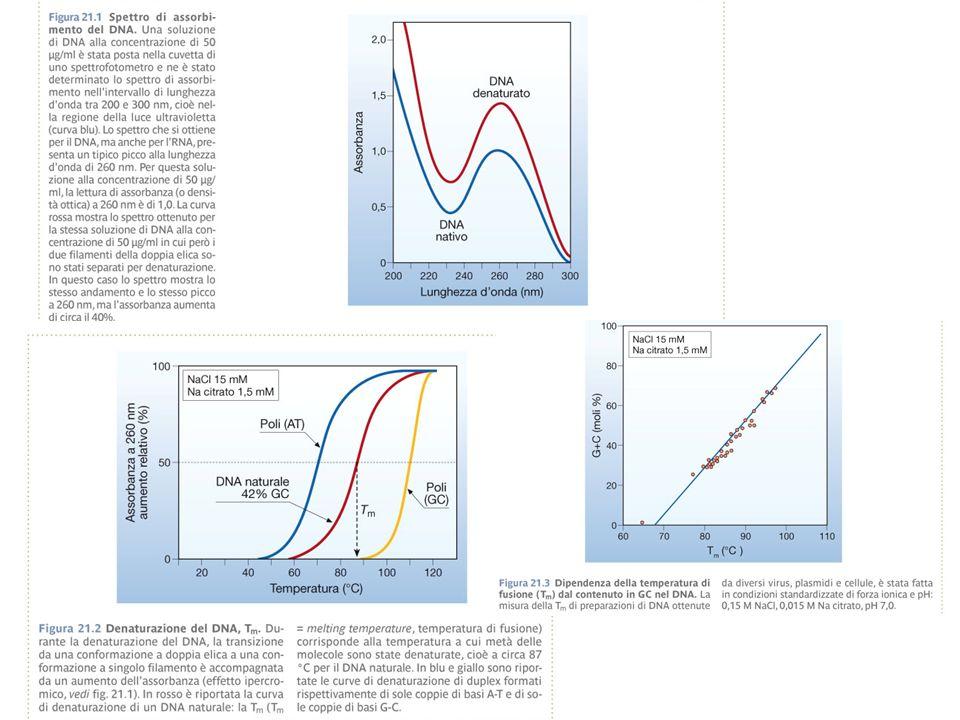 Vettori di Clonaggio Plasmidi Cosmidi Fagi Cromosomi artificiali: Lievito (YAC) Batterici (BAC) Plasmidici (PAC) Vettori di espressione in Procarioti, Eucarioti, Piante Virus