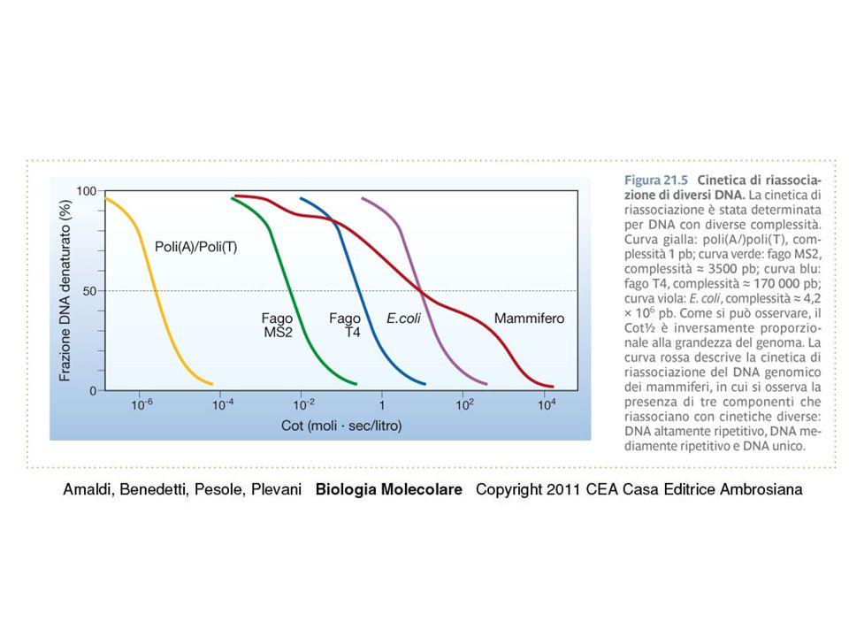 Uso di sonde di DNA per l'identificazione e l'analisi di sequenze nucleotidiche Ibridazione A saturazione Ibridazione in situ o citologica Southern e Northern Blot Ibridazione su colonia o su placca Microarray (o microchip)