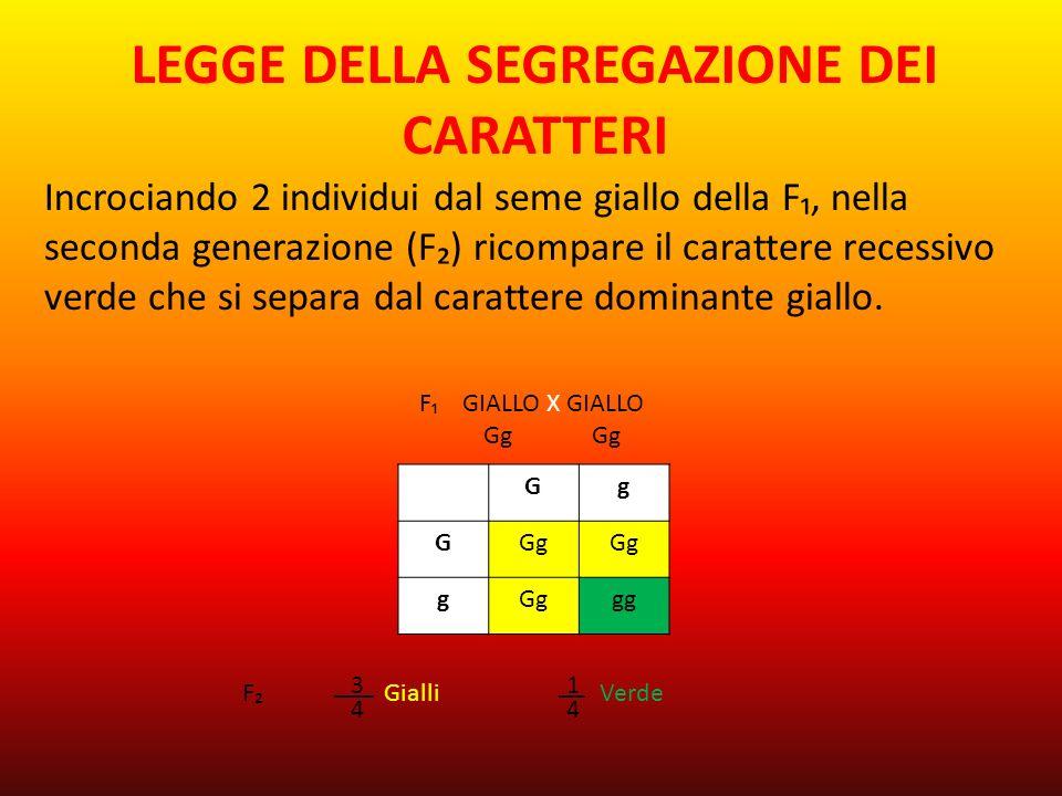 LEGGE DELLA SEGREGAZIONE DEI CARATTERI Incrociando 2 individui dal seme giallo della F₁, nella seconda generazione (F₂) ricompare il carattere recessivo verde che si separa dal carattere dominante giallo.