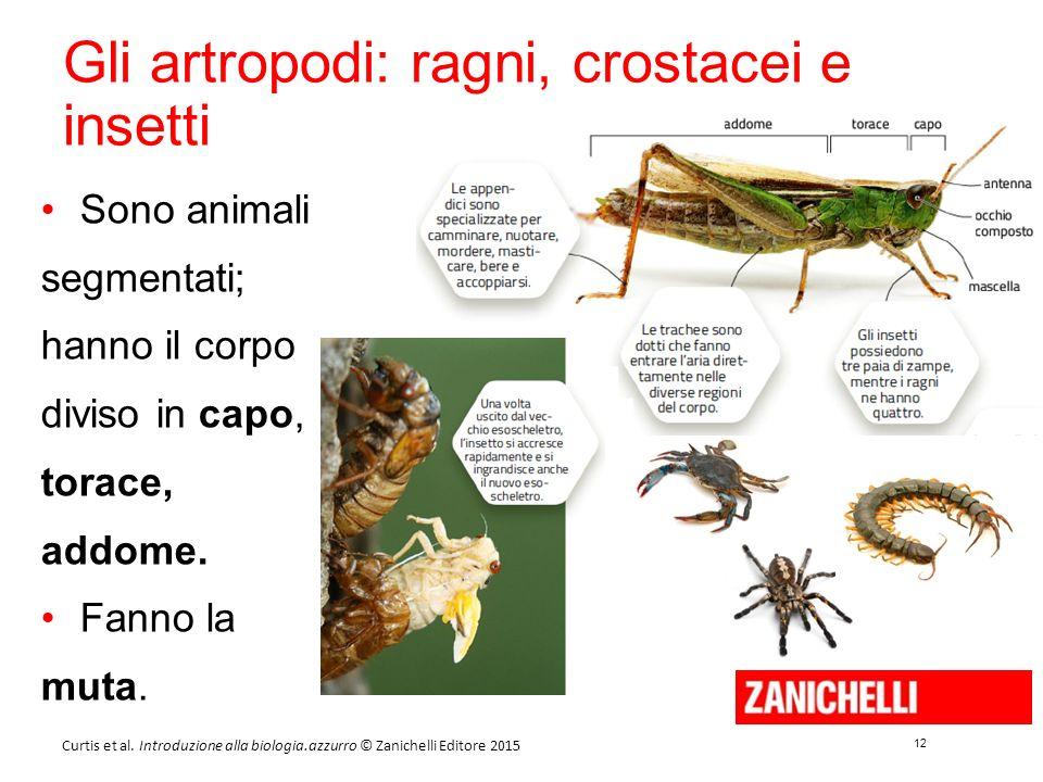 12 Curtis et al. Introduzione alla biologia.azzurro © Zanichelli Editore 2015 Gli artropodi: ragni, crostacei e insetti Sono animali segmentati; hanno