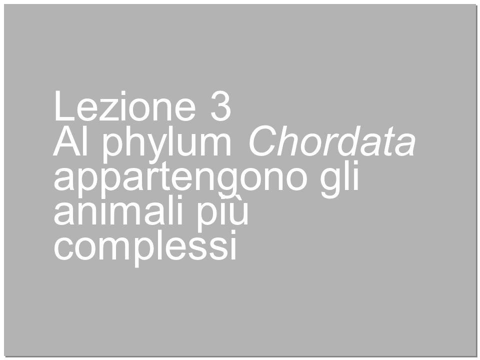 14 Lezione 3 Al phylum Chordata appartengono gli animali più complessi