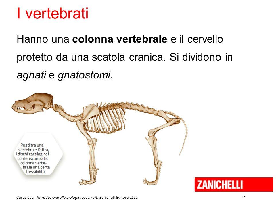 16 Curtis et al. Introduzione alla biologia.azzurro © Zanichelli Editore 2015 I vertebrati Hanno una colonna vertebrale e il cervello protetto da una