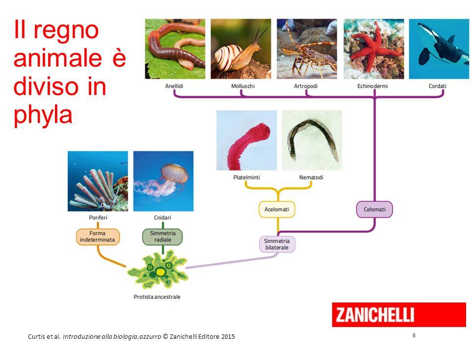 6 6 Curtis et al. Introduzione alla biologia.azzurro © Zanichelli Editore 2015 Il regno animale è diviso in phyla