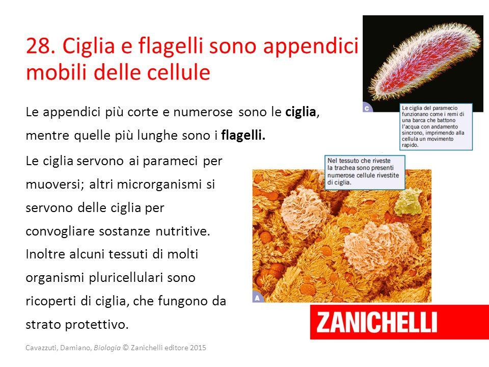 Cavazzuti, Damiano, Biologia © Zanichelli editore 2015 28. Ciglia e flagelli sono appendici mobili delle cellule Le appendici più corte e numerose son