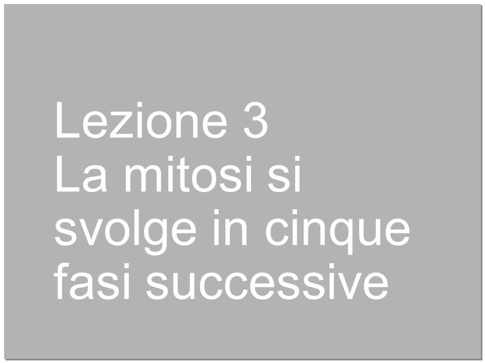 11 Lezione 3 La mitosi si svolge in cinque fasi successive