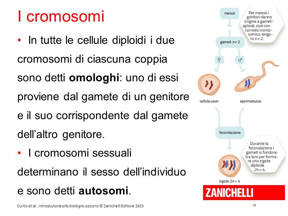 19 Curtis et al. Introduzione alla biologia.azzurro © Zanichelli Editore 2015 I cromosomi In tutte le cellule diploidi i due cromosomi di ciascuna cop