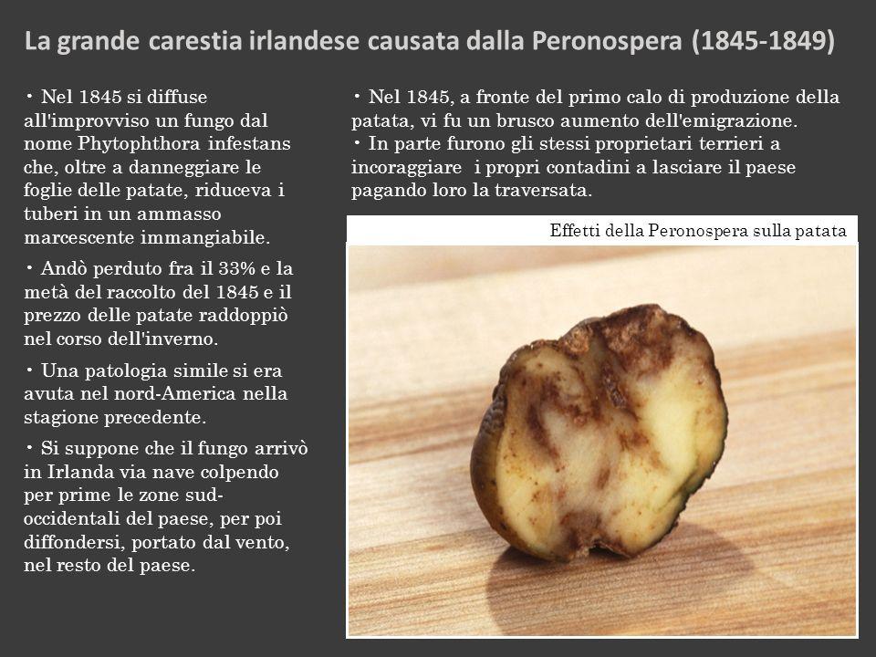 Effetti della Peronospera sulla patata Nel 1845 si diffuse all improvviso un fungo dal nome Phytophthora infestans che, oltre a danneggiare le foglie delle patate, riduceva i tuberi in un ammasso marcescente immangiabile.