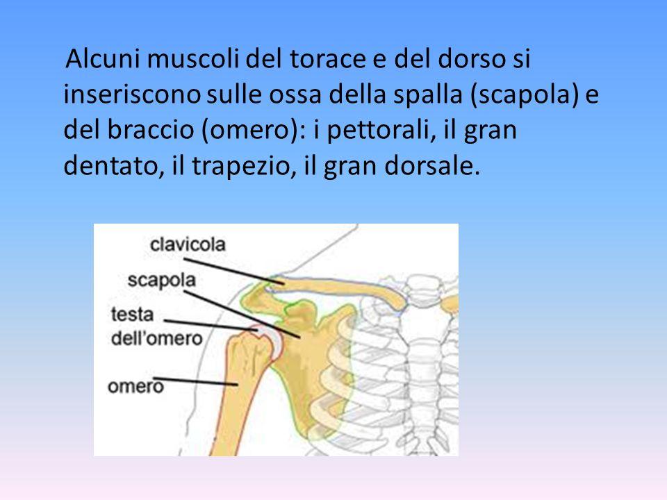 Il torace ha uno scheletro (la gabbia toracica) che circonda completamente gli organi interni (polmoni, cuore e grandi vasi sanguigni). I muscoli del