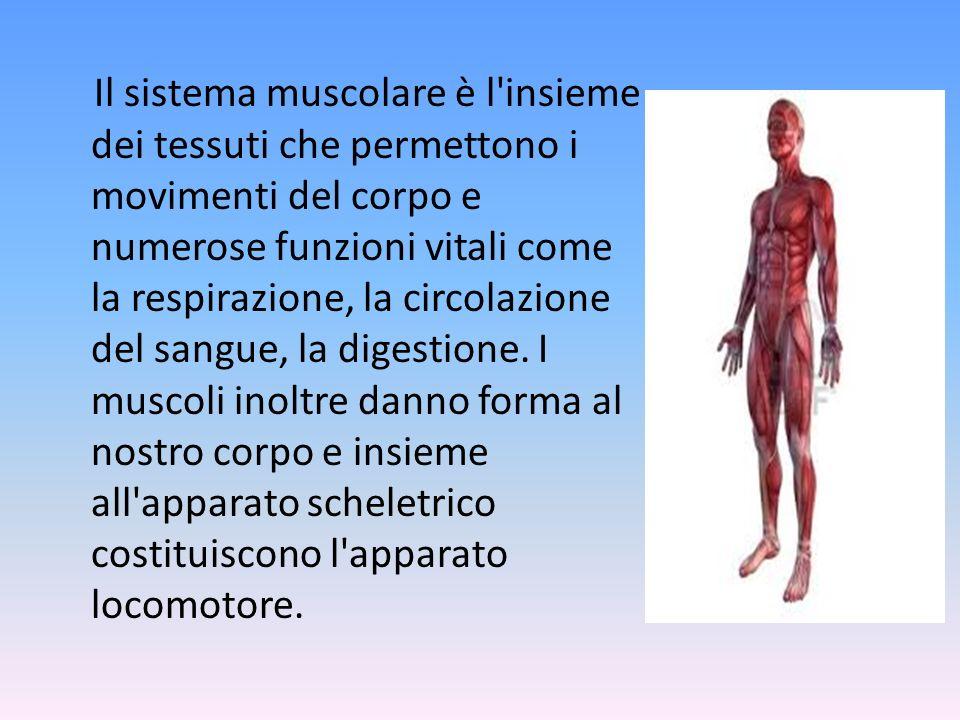 Alcuni muscoli del torace e del dorso si inseriscono sulle ossa della spalla (scapola) e del braccio (omero): i pettorali, il gran dentato, il trapezio, il gran dorsale.