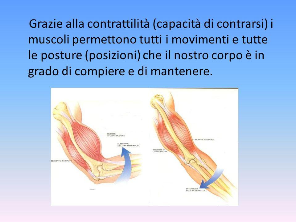 Il sistema muscolare è l'insieme dei tessuti che permettono i movimenti del corpo e numerose funzioni vitali come la respirazione, la circolazione del