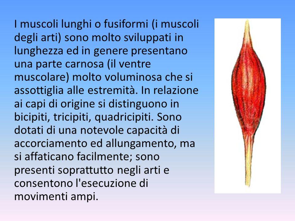 I muscoli lunghi o fusiformi (i muscoli degli arti) sono molto sviluppati in lunghezza ed in genere presentano una parte carnosa (il ventre muscolare) molto voluminosa che si assottiglia alle estremità.