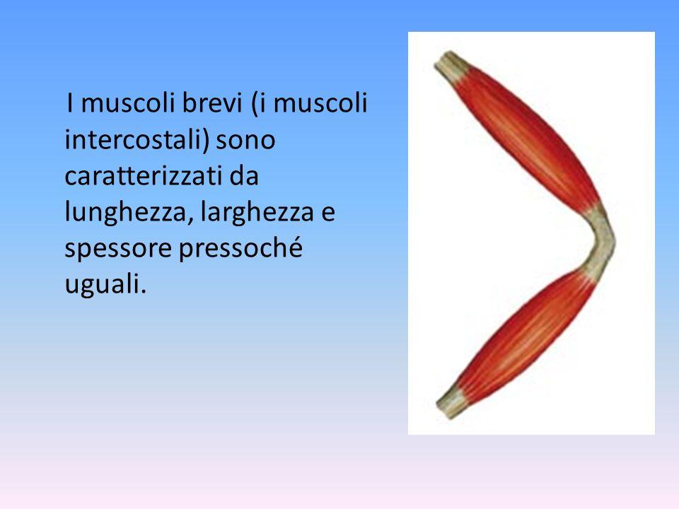 I muscoli brevi (i muscoli intercostali) sono caratterizzati da lunghezza, larghezza e spessore pressoché uguali.