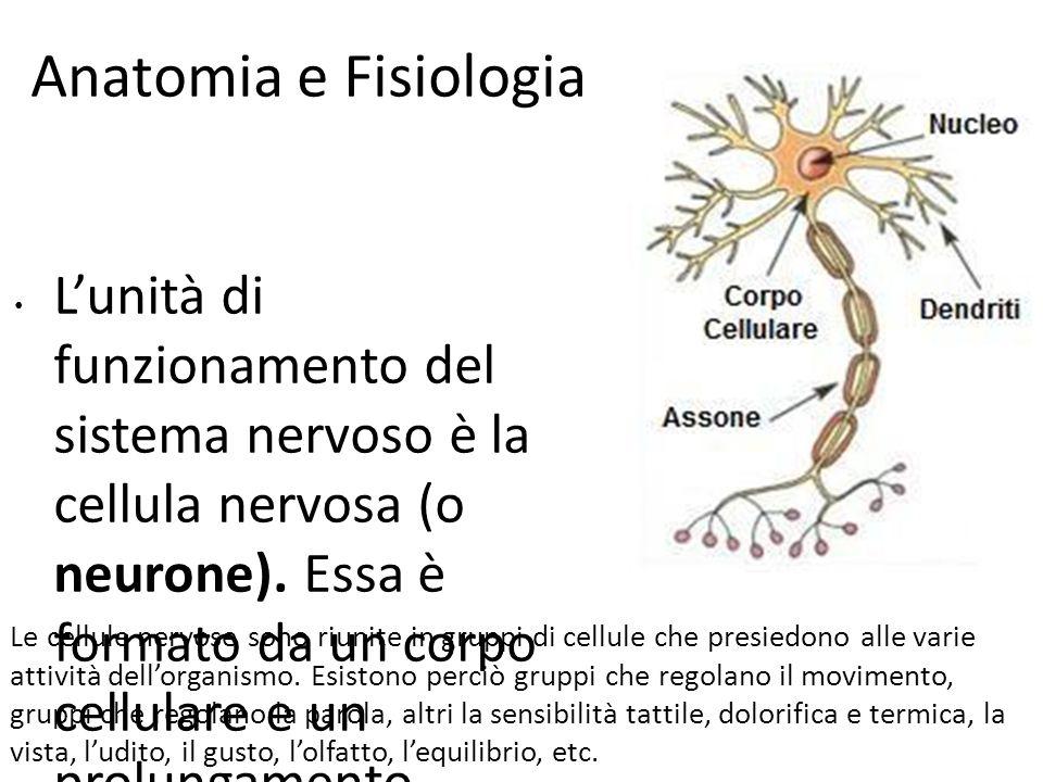 Anatomia e Fisiologia In particolare, le funzioni regolate dall'attività cerebrale sono distinte in:  Vita vegetativa, per il funzionamento degli organi, del respiro, della circolazione del sangue, etc..
