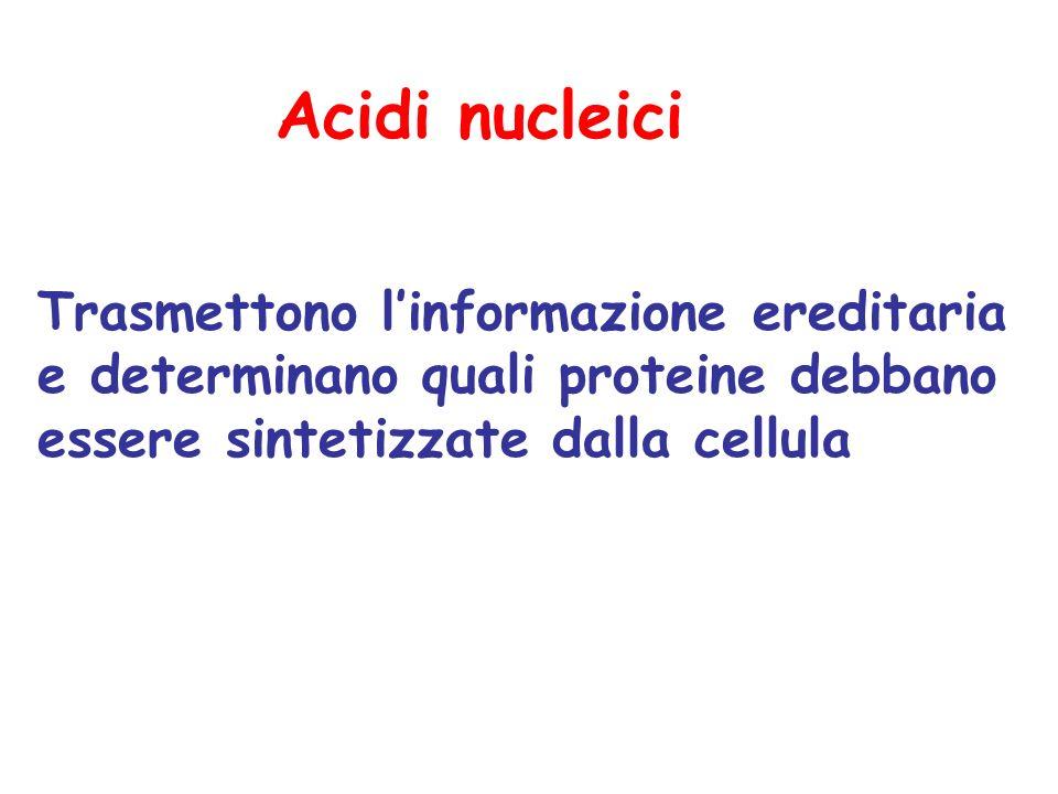 Acidi nucleici Trasmettono l'informazione ereditaria e determinano quali proteine debbano essere sintetizzate dalla cellula