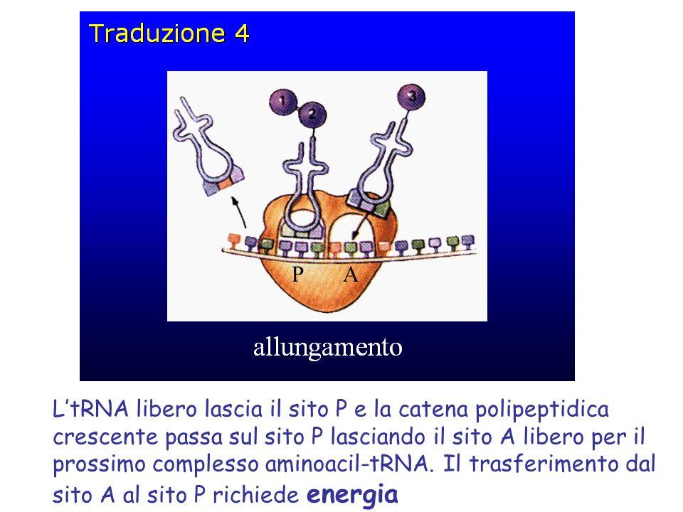 L'tRNA libero lascia il sito P e la catena polipeptidica crescente passa sul sito P lasciando il sito A libero per il prossimo complesso aminoacil-tRNA.