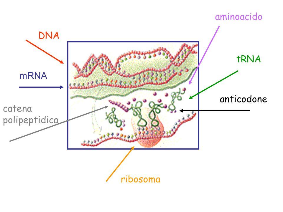 DNA mRNA aminoacido tRNA anticodone ribosoma catena polipeptidica