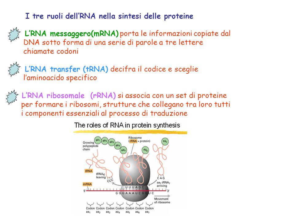 I tre ruoli dell'RNA nella sintesi delle proteine L'RNA messaggero(mRNA) porta le informazioni copiate dal DNA sotto forma di una serie di parole a tre lettere chiamate codoni L'RNA transfer (tRNA) decifra il codice e sceglie l'aminoacido specifico L'RNA ribosomale (rRNA) si associa con un set di proteine per formare i ribosomi, strutture che collegano tra loro tutti i componenti essenziali al processo di traduzione