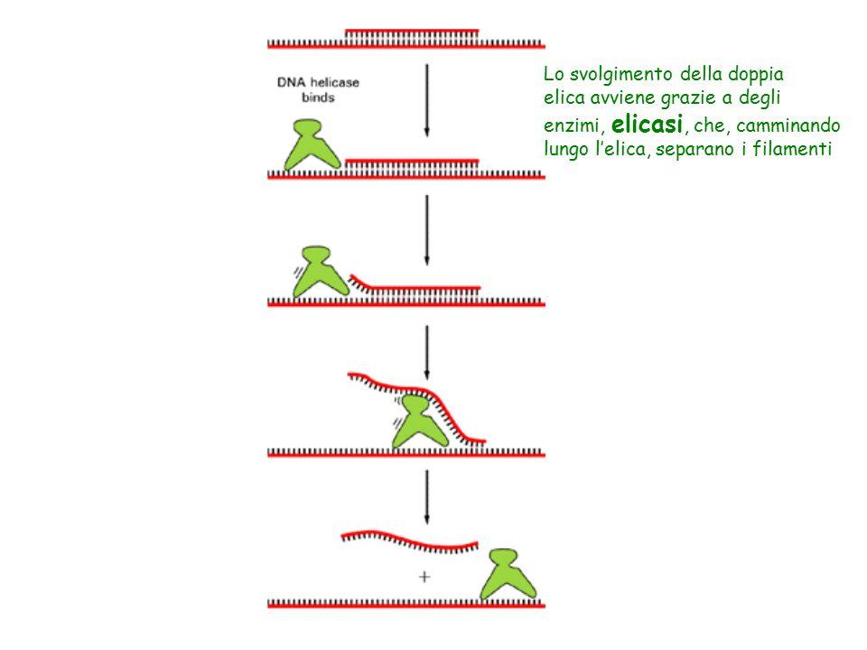Lo svolgimento della doppia elica avviene grazie a degli enzimi, elicasi, che, camminando lungo l'elica, separano i filamenti