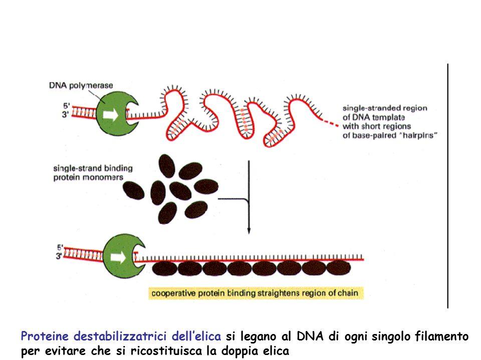 Proteine destabilizzatrici dell'elica si legano al DNA di ogni singolo filamento per evitare che si ricostituisca la doppia elica
