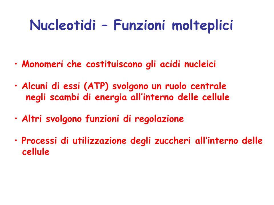 Nucleotidi – Funzioni molteplici Monomeri che costituiscono gli acidi nucleici Alcuni di essi (ATP) svolgono un ruolo centrale negli scambi di energia all'interno delle cellule Altri svolgono funzioni di regolazione Processi di utilizzazione degli zuccheri all'interno delle cellule
