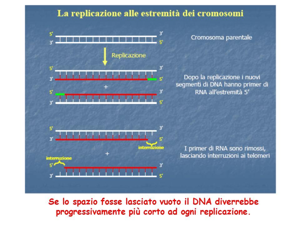 Se lo spazio fosse lasciato vuoto il DNA diverrebbe progressivamente più corto ad ogni replicazione.