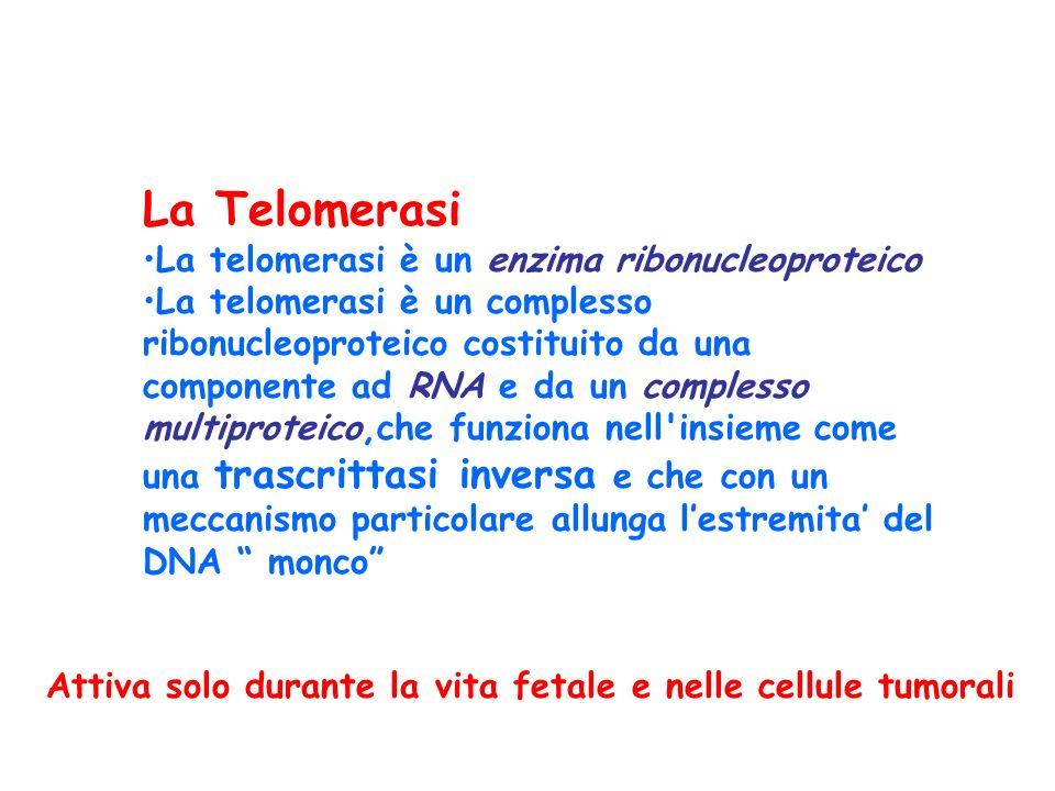 La Telomerasi La telomerasi è un enzima ribonucleoproteico La telomerasi è un complesso ribonucleoproteico costituito da una componente ad RNA e da un complesso multiproteico,che funziona nell insieme come una trascrittasi inversa e che con un meccanismo particolare allunga l'estremita' del DNA monco Attiva solo durante la vita fetale e nelle cellule tumorali