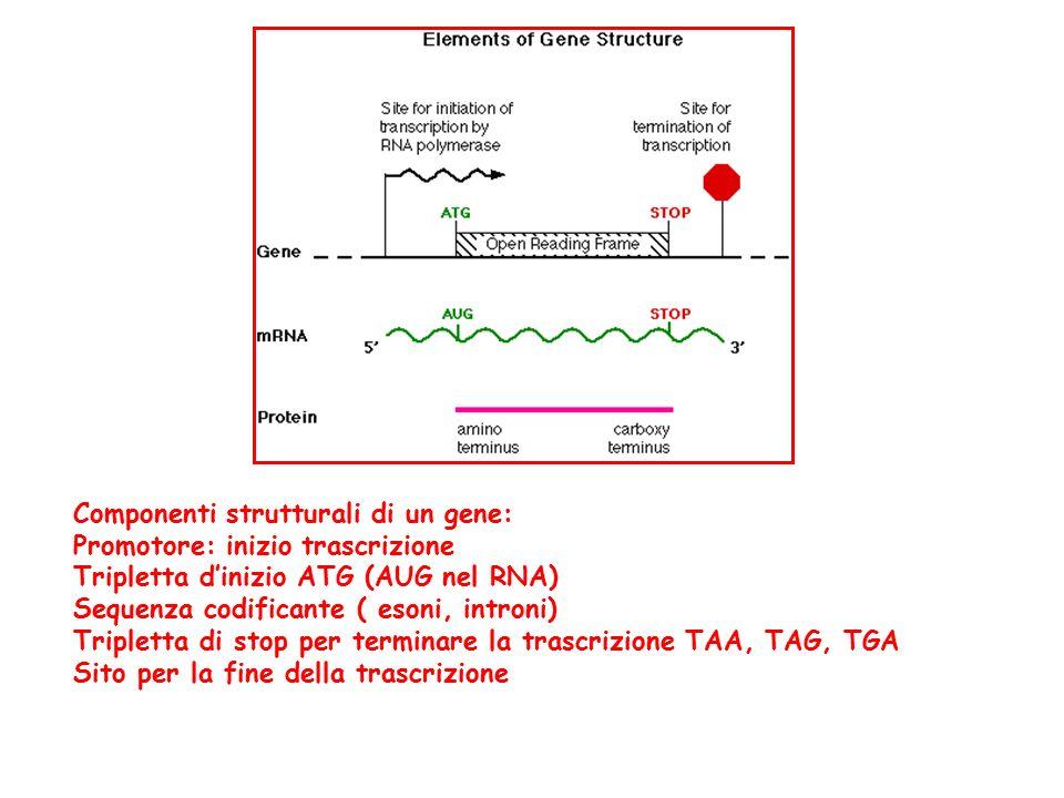 Componenti strutturali di un gene: Promotore: inizio trascrizione Tripletta d'inizio ATG (AUG nel RNA) Sequenza codificante ( esoni, introni) Tripletta di stop per terminare la trascrizione TAA, TAG, TGA Sito per la fine della trascrizione