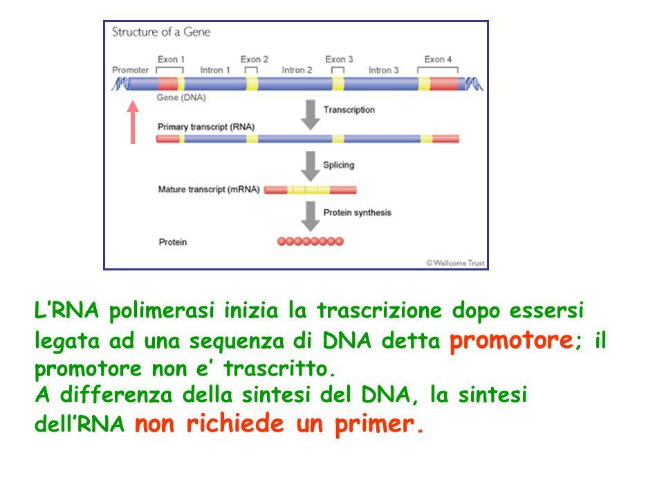 L'RNA polimerasi inizia la trascrizione dopo essersi legata ad una sequenza di DNA detta promotore ; il promotore non e' trascritto.